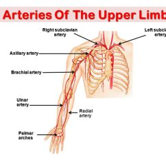 Vascular Anatomy Diagram Lower Vs Commodore Wiring Of The Upper Limb Ppt Video Online Download 3 Arteries