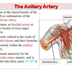 Vascular Anatomy Diagram Lower 2006 Gmc Savana Radio Wiring Of The Upper Limb Ppt Video Online Download Axillary Artery Begins At Lateral Border 1st Rib As Continuation