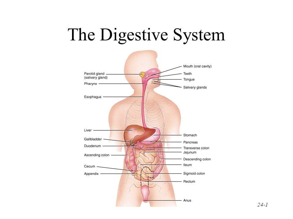 swallowing food diagram automotive led lighting the digestive system. - ppt video online download