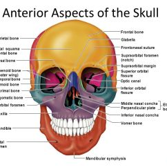 Human Skull Diagram Superior Hella Horn Wiring Anterior Aspects Of The - Ppt Video Online Download
