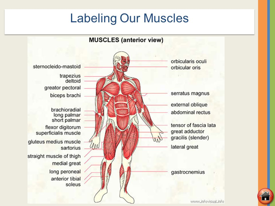 a labeled diagram of the skeletal system ez go golf cart battery charger wiring & muscular systems - ppt video online download