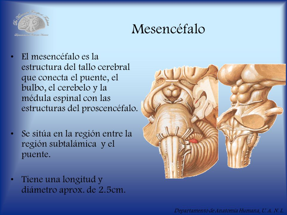 Mdulo X Mesencfalo    ppt video online descargar