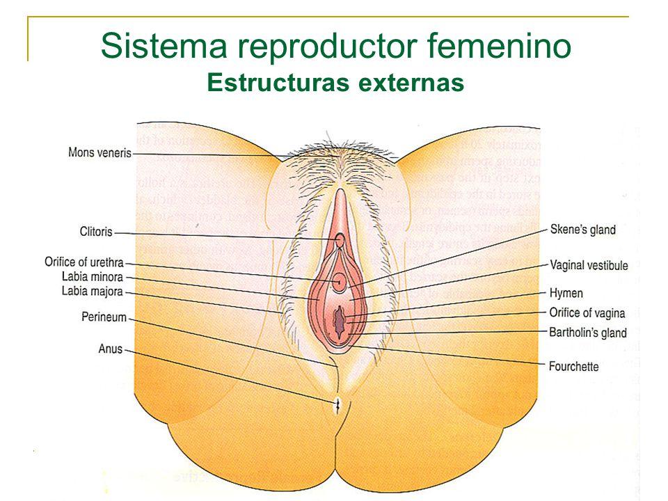 Excepcional Anatomía Vaginal Externa Modelo - Anatomía de Las ...