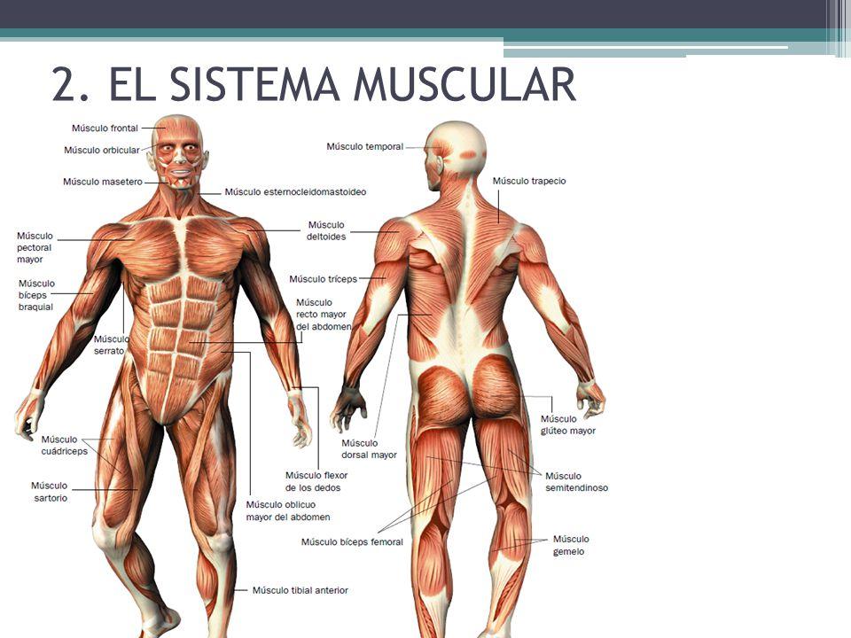Contemporáneo La Imagen Del Esqueleto Humano Con Los Músculos Foto ...