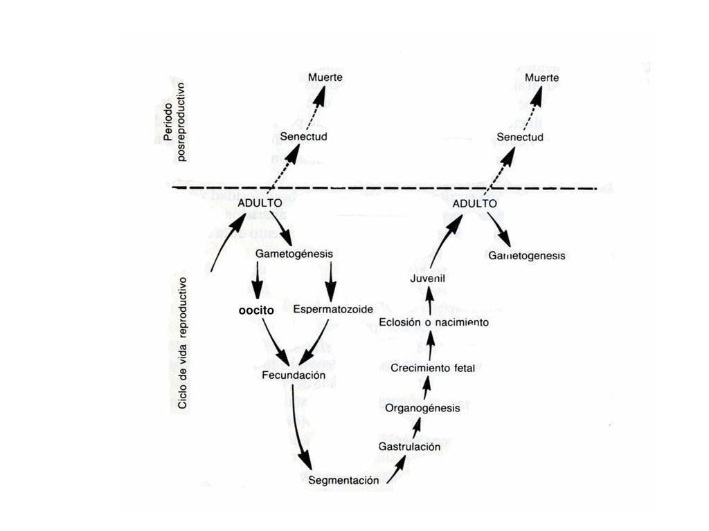 EMBRIOLOGIA ANIMAL (BIOLOGIA DE LA REPRODUCCION Y EL