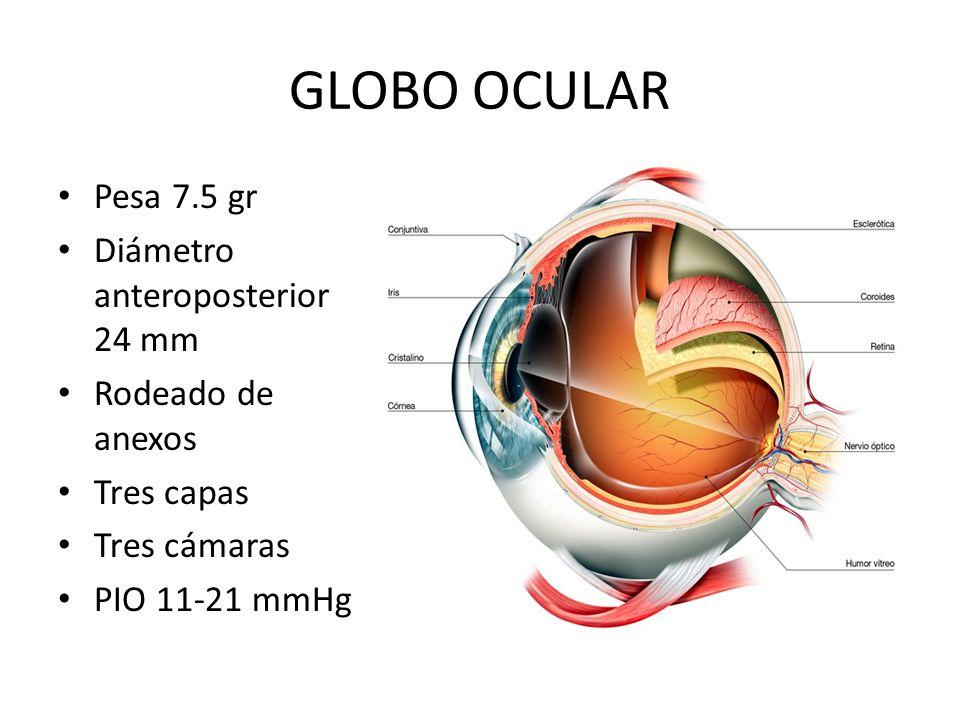 GLOBO OCULAR Pesa 75 gr Dimetro anteroposterior 24 mm