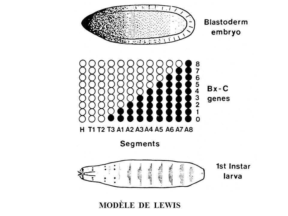 gene lewis auto electrical wiring diagramsegmentation mol u00c9culaire  processus s u00e9quentiel