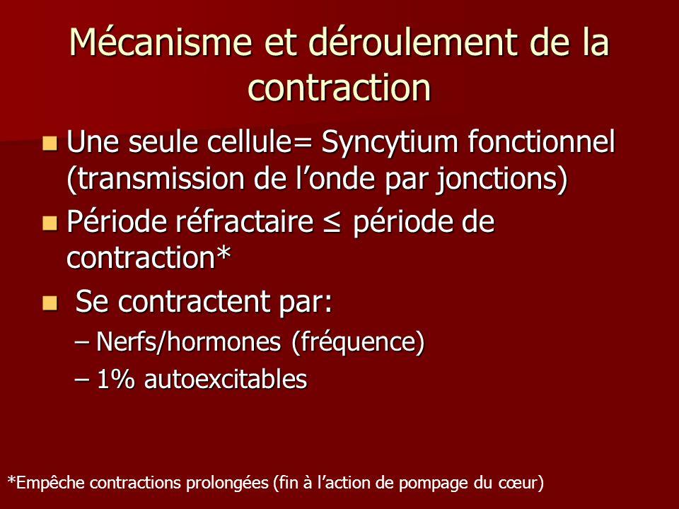Syncytium Fonctionnel Coeur