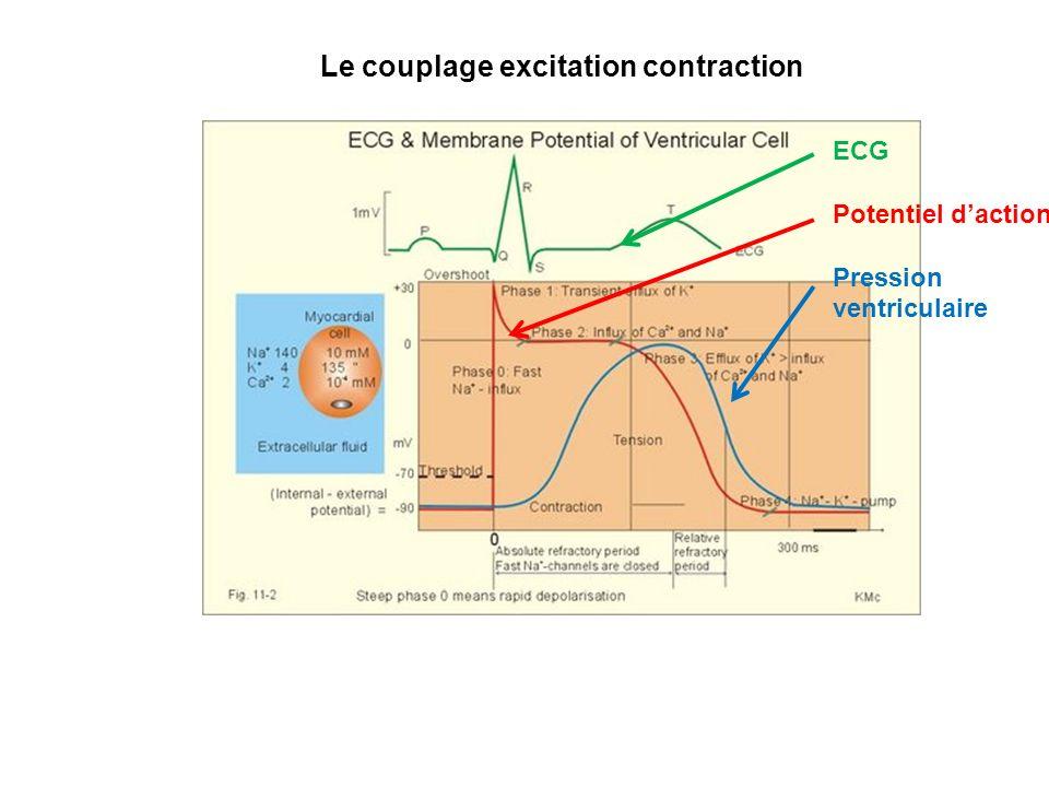 Lactivit lectrique des cellules Cellules myocardiques