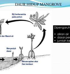 daur hidup mangrove dipengaruhi oleh aliran air dasar perairan [ 1024 x 768 Pixel ]