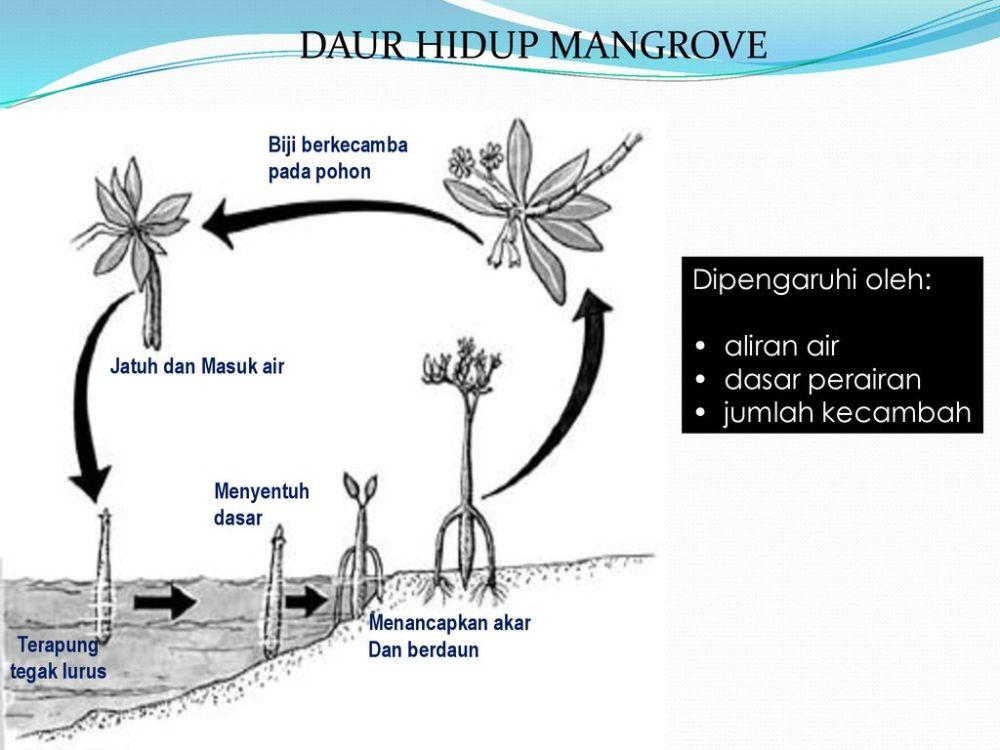 medium resolution of daur hidup mangrove dipengaruhi oleh aliran air dasar perairan