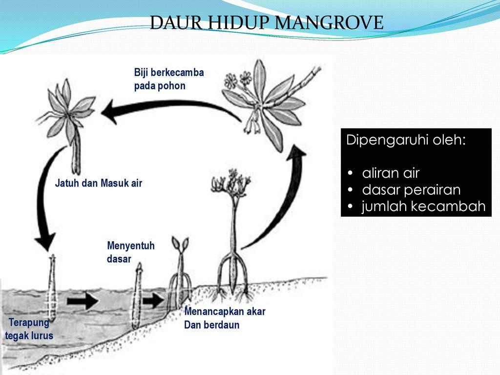 hight resolution of daur hidup mangrove dipengaruhi oleh aliran air dasar perairan
