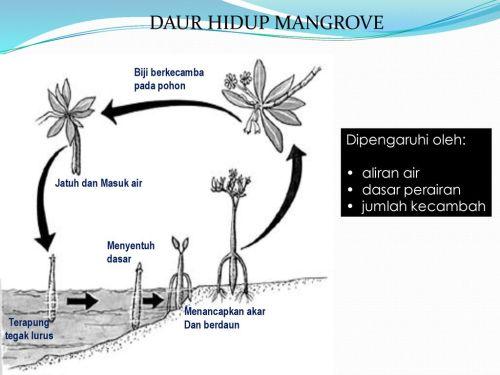 small resolution of daur hidup mangrove dipengaruhi oleh aliran air dasar perairan