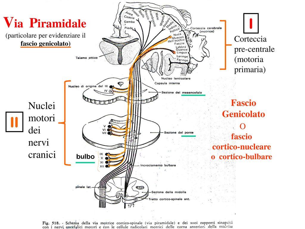 VIE NERVOSE La comunicazione tra il SNC e SNP e gli organi periferici avviene tramite vie che