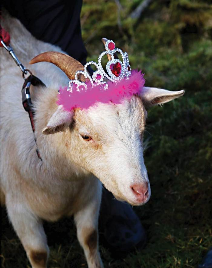 'Rosie' Crowned Queen of the Mountain for Imbolc Festival 2017 - Photo, Kathleen Culliton