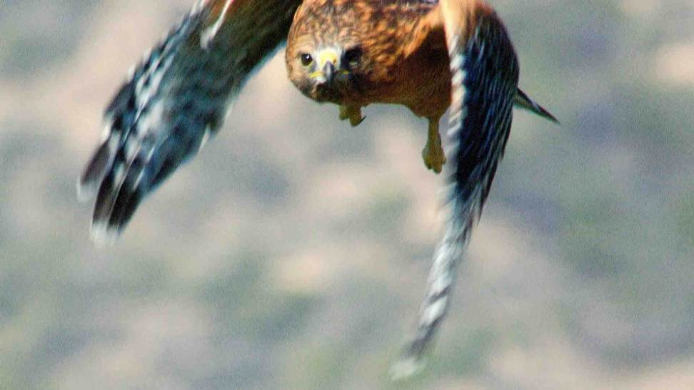 xp3-dot-us__DSC2951-Hawk-where-there-is-fear-1