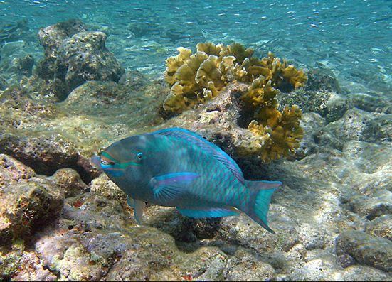 parot fish