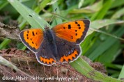 Small copper 'caeruleopunctata'
