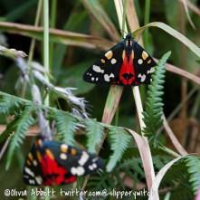 Scarlet Tigers