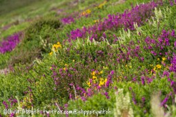 The hillsides were covered in broom and heather