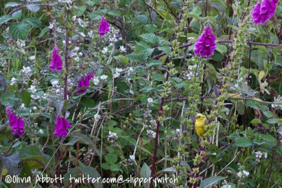 Foxgloves and a yellowhammer
