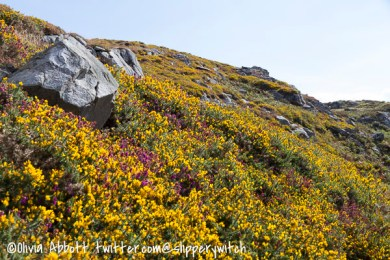 Yellow gorse and purple heather