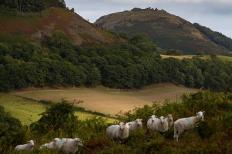 Sheep on Velvet Hill with Dinas Bran in the distance