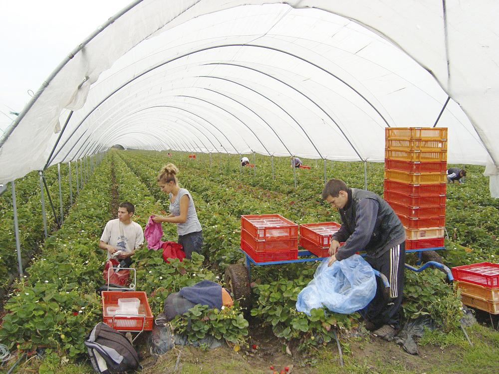 Работа в селското стопанство в Португалия- малиноберачи