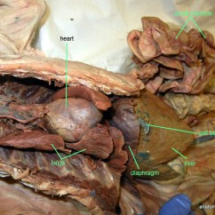 Rat Digestive System Diagram Quiz Inline Fuse Wiring Dissection Warning Click At Your Own Risk Sean Nickels