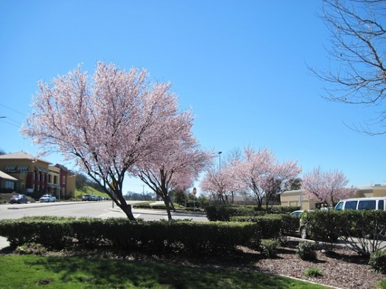 Trees in bloom at Walmart parking lot, Paso Robles, CA, February 27, 2011