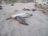 Elephant Seals at Piedras Blancas Beach, February 13, 2011