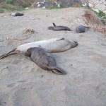 Elephant Seals at Piedras Blancas Beach, February 13, 2011