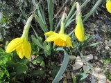 Spring Daffodils in Early March