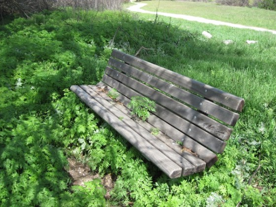 Poison Hemlock Growing through Park Bench Seat at Lawrence Moore Park, Paso Robles