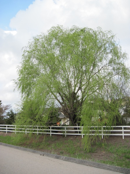 Weeping Willow on Bennett Way in Templeton, Dressed for Spring