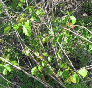 Take a close look at poison oak in April.