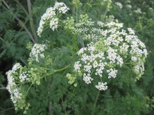 Deadly Beauty: Flower of the Poison Hemlock Plant