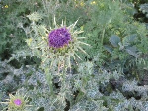 """Milk Thistle Flower is about half open. Notice the """"milky"""" leaves."""