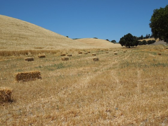 Baled Hay on Las Tablas Road Beside Venteux Vineyards, June 2012