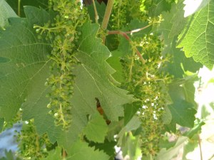 Baby Grapes at Venteux Vineyard on Las Tablas Road, Templeton