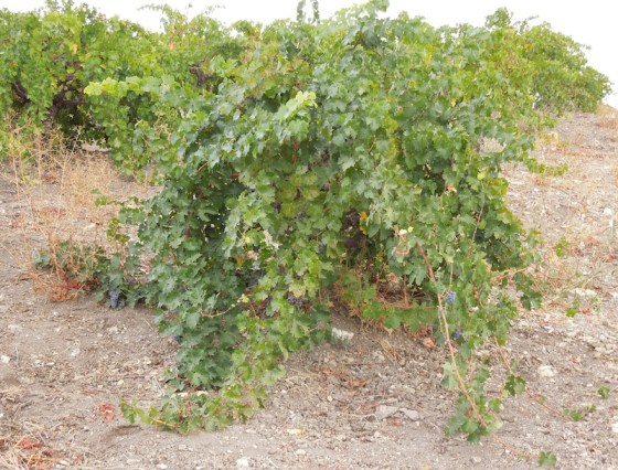 Rotta Vine, Dry Farming, loaded with grapes.