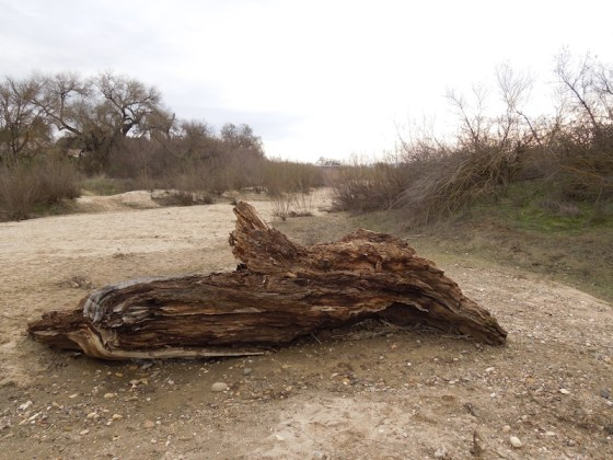Decaying Log in Salinas Riverbed