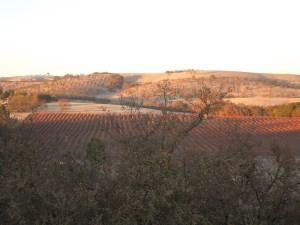 Vineyards on Twelve Oaks Drive in January