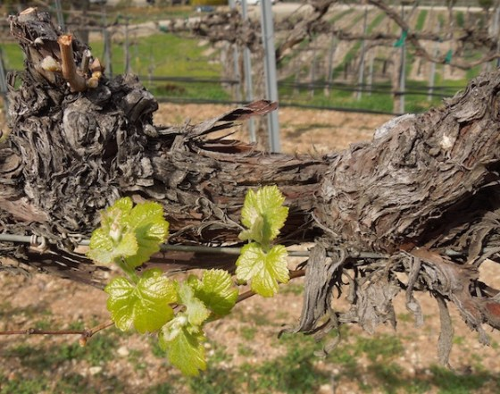 No Longer Dormant Vines Produce New Shoots at Zenaida