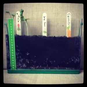 Kids vegetable garden at 9 days' growth.