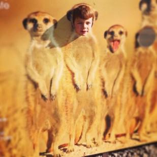 Isaac meerkat Marwell Zoo