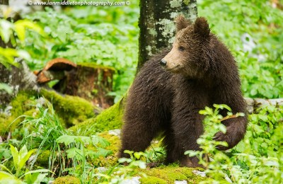 In Search of Bears in Slovenia