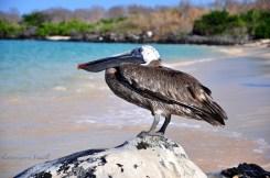 cool pelican