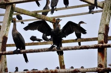 Paaracas birds
