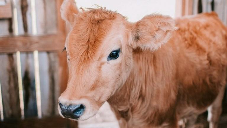 Krave so zelo inteligente in komunicirajo, kako se počutijo